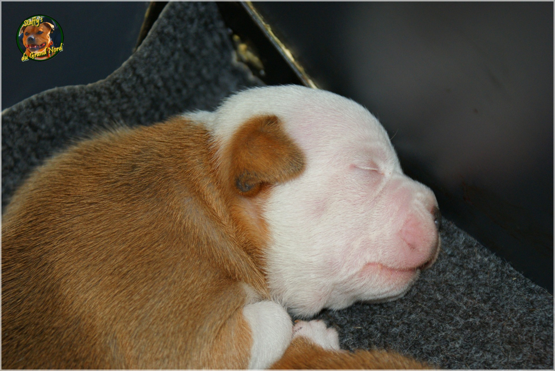 Chiot staffordshire bull terrier