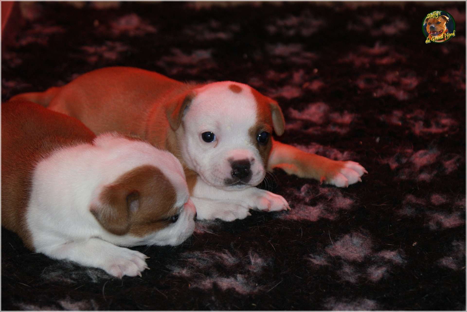 Chiot staffordshire bull terrier un mois