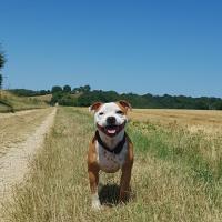 Staffordshire bull terrier blanc et rouge