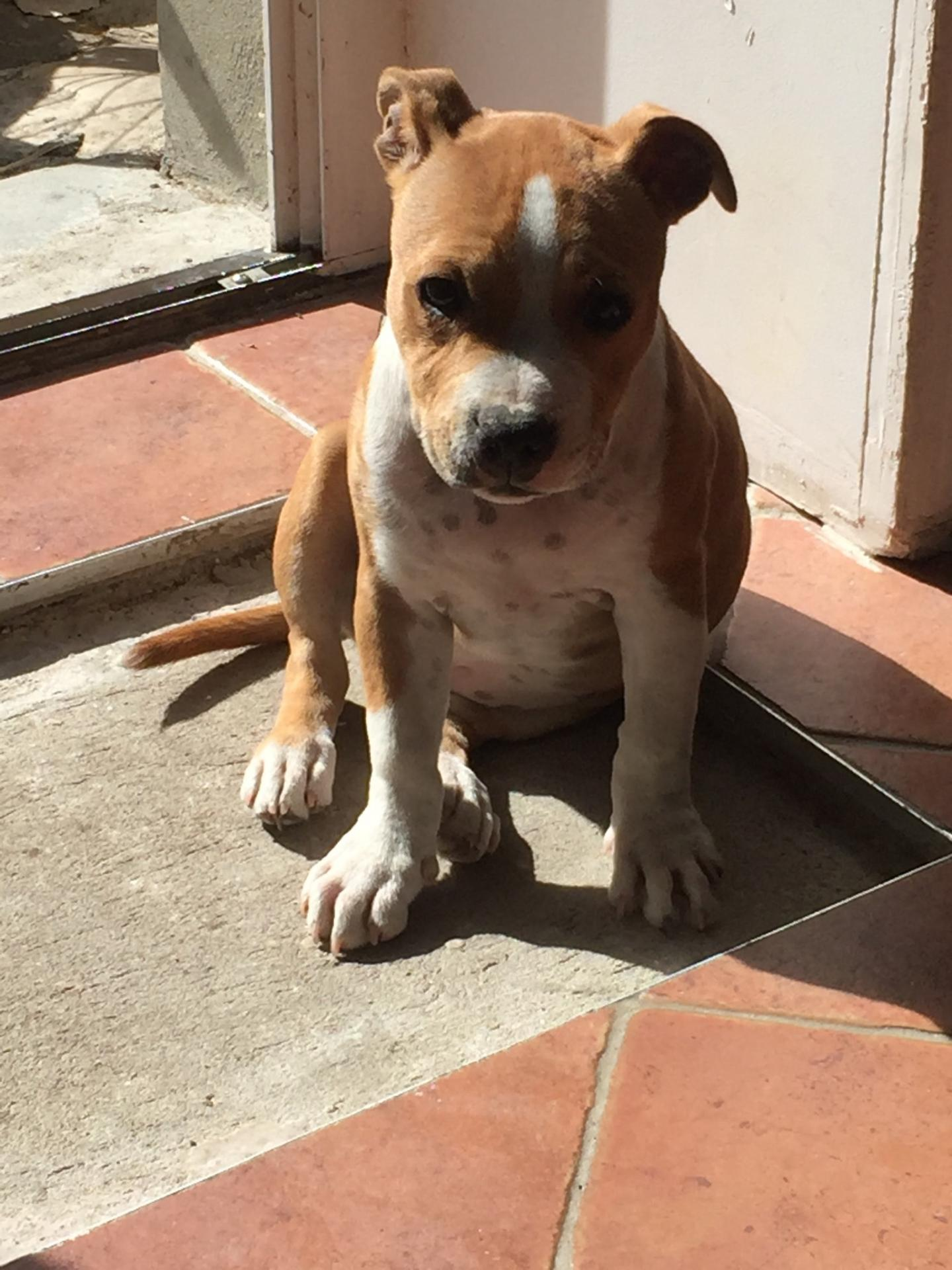 staffie maiden