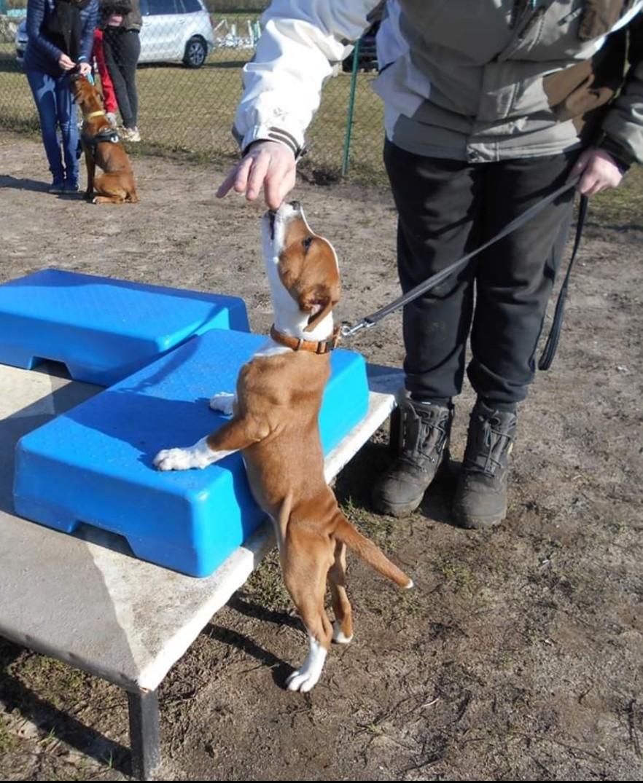 staffie club canin
